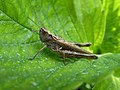 Chorthippus brunneus on strawberry leaf 02.jpg