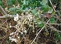 Christmas Blackberry Flowers, Castlemorton Common - geograph.org.uk - 1091141.jpg