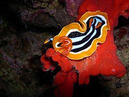 Chromodoris quadricolor 1.jpg