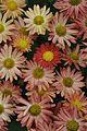 Chrysanthemum - Science City - Kolkata 2012-01-11 8021.JPG