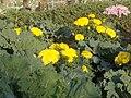 Chrysanthemum 11.jpg