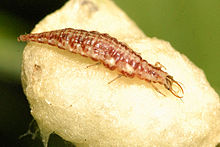 El Brujo a Latigazos ...(Sweet Seeds)+(CannaBooM)(2018) - Página 2 220px-Chrysoperla.sp.larva
