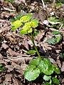 Chrysosplenium alternifolium (Retournemer).JPG