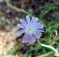 Cichorium intybus or Wild Chickory - Flickr - gailhampshire.jpg
