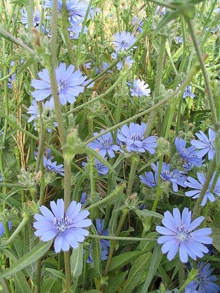 List of Plants 449px-Cichorium_pumilum