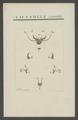 Cicindela - Print - Iconographia Zoologica - Special Collections University of Amsterdam - UBAINV0274 009 02 0010.tif