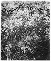 Cinchona Ledgeriana in blossom. Wellcome M0001604.jpg