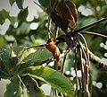 Cinnamon Becard Pachyramphus cinnamomeus (41929909415).jpg