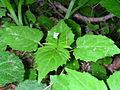 Circaea alpina 3 (5097239767).jpg