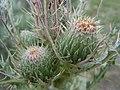 Cirsium brevistylum.jpg