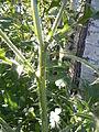 Cirsium vulgare (4995176236).jpg