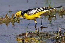 Citrine Wagtail (Motacilla citreola)- Breeding Male of calcarata race at Bharatpur I IMG 5755.jpg