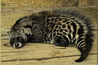 African civet largest representative of the African Viverridae