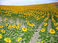 Cizur Menor-sunflowers-chanceprojects.jpg