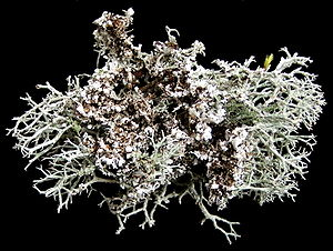 Cladonia rangiferina - The underside of C. rangiferina