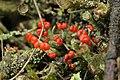 Cladonia sp. (27461675779).jpg