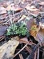 Cladonia sp. 1.jpg