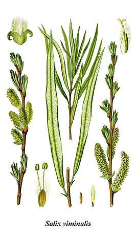 Cleaned-Illustration Salix viminalis.jpg