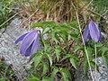 Clematis alpina1JUSA.jpg