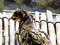 Clouded Leopard at Padmaja Naidu Himalayan Zoological Park 02.jpg