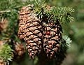 Coccinella septempunctata (7-spots on Douglas Fir cone) - Flickr - S. Rae.jpg
