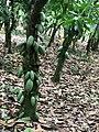 Cocoa farm 004.jpg