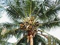 Coconut in final stage.jpg
