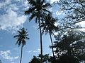 Coconut trees VoltaRegion.JPG