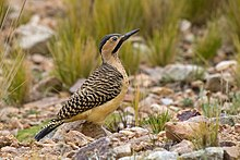 Andean flicker - WikiVisually