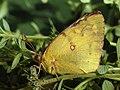 Colias hyale - Pale clouded yellow - Желтушка луговая (39366464680).jpg