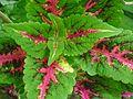 Colius color leaves.jpg