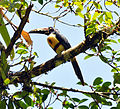 Collared Aracari (6901545900).jpg