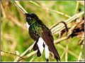 Collared Inca (Coeligena torquata) 3.jpg