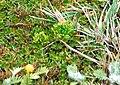 Colobanthus kerguelensis à La Pérouse - panoramio.jpg