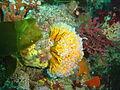 Colonial ascidian at Tafelberg Reef DSC02888.JPG