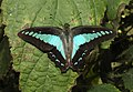 Common Bluebottle Graphium sarpedon UP by Dr. Raju Kasambe DSCN1849 (11).jpg