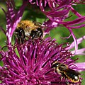 Common Carder-bee and a leafcutter bee on Greater Knapweed.jpg