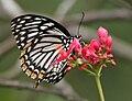 Common Mime - Papilio clytia (dissimilis form) on Jatropha panduraefolia in Kolkata Iws IMG 0246.jpg