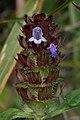 Common Selfheal (Prunella vulgaris) - Guelph, Ontario 2013-08-06 (02).jpg
