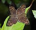 Common Small Flat Sarangesa dasahara mating by Dr. Raju Kasambe DSCN8689 (28).jpg