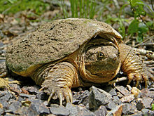 Common snapping turtle - Wikipedia