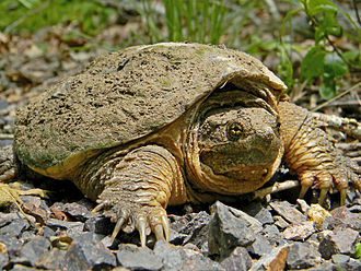 Common snapping turtle - Close-up in Taum Sauk Mountain State Park