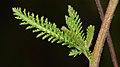 Common Yarrow (Achillea millefolium) - Guelph, Ontario 01.jpg