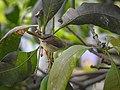 Common tailorbird 03.jpg