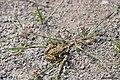 Complexe Grenouille verte Pelophylax sp.jpg
