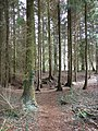 Conifer plantation, above Blackborough - geograph.org.uk - 1776004.jpg
