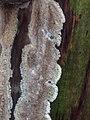 Coniophora puteana 107161022.jpg