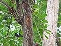 Coppersmith Barbet - Megalaima haemacephala - P1040257.jpg