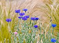 Cornflowers In The Morning (261643105).jpeg