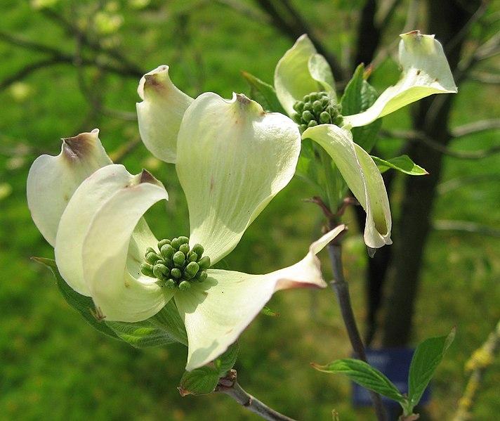 File:Cornus florida flowers 01 by Line1.jpg